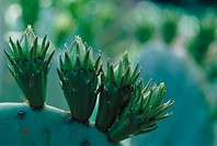 Prickly pear (Opuntia sp.)