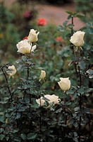 White hybrid rose bush