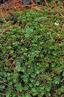 Stonecrop (Sedum tetractinum)