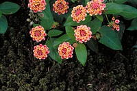 "Flowers (Sedum sp. And Lantana ""Confetti"")"