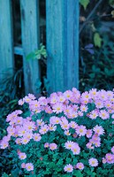 Aster 'Woods purple'