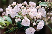Mountain Laurel, Calico Bush (Kalmia latifolia)