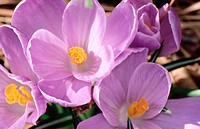 Purple crocus (Crocus purpurea)