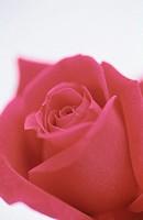 Rose (Rosa hybr.)