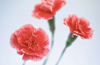 Pink Carnations (Dianthus hybr.)