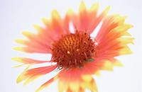 Gaillardia (thumbnail)
