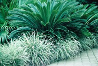 Sago Palm or King Sago (Cycas revoluta)