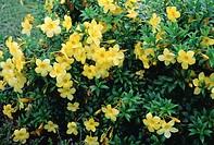 Golden Trumpet (Allamanda cathartica)