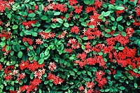 Ixora hedge