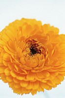 Marigold (Calendula hybr.)