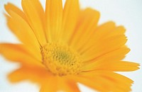 Marigold (Calendula officinalis)