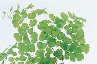 Madenhair Fern (Adiantum capillus veneris)