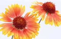 Blanketflowers (Gaillardia sp.)