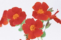 Monkey Flowers (Mimulus sp.)