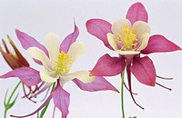 Fan Columbines (Aquilegia sp.)