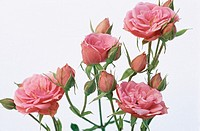 Roses (Rosa sp.)