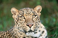 Leopard (Panthera pardus), captive. Florida. USA
