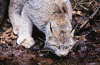 Canadian Lynx (Felis lynx canadensis)