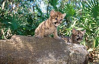 Young puma cubs (Felis concolor). Florida. USA
