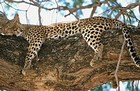 Leopard (Panthera pardus). Mana Pools National Park. Zimbawe