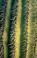 Cactus. Sonoran Desert. Saguaro National Park. Arizona. USA