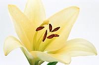 Lily, Lilium hybr.