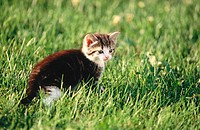 Domestic short hair kitten