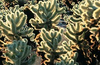 Cholla cactus. Joshua Tree National Park. California. USA