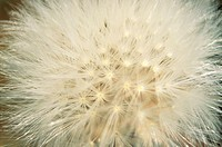 Dandelion (Taraxacum officinale)