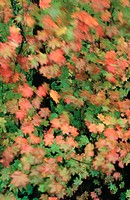 Vine Maple (Acer circinatum) leaves in fall