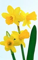 Daffodil, Narcissus hybr (thumbnail)