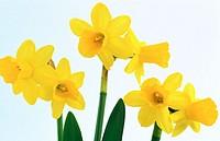 Daffodil, Narcissus hybr.
