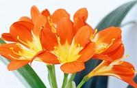 Kaffir Lily, Clivia miniata
