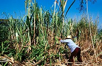 Cutting sugar cane. Veracruz. Mexico