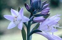 Hosta flowers (Hosta sp.)