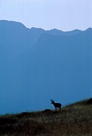Pronghorn National Bison Range Montana USA