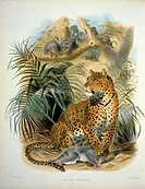 Pan Ther or Leopard (Felis Pardus). 1883 Daniel Girard Elliot (active 1860-1877 American). Monograph Academy of Natural Sciences, Philadelphia, USA