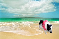Potbelly pig wearing a lei on a Hawaiian beach