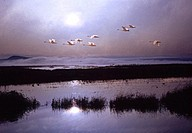 Tundra Swans Lower Klamath Wildlife Refuge California USA