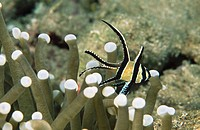 Banggai Cardinal fish (Pterapogon kauderni) in sea anemone. Indonesia