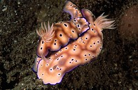 Nudibranch (Chromodoris kuniei) mating. Papua New Guinea