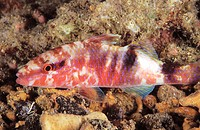 Freckled Goatfish (Upeneus tragula)