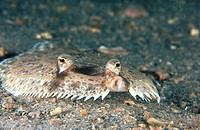 Eyed Flounder (Bothus ocellatus). Florida. USA