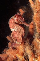 Lined Seahorse (Hippocampus erectus). Florida. USA