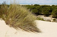 ´Dunas móviles´ (moving dunes) and ´corrales´ (groups of pine trees encircled by dunes). Doñana National Park. Huelva province. Spain