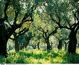 Greece, Olive grove, Olive trees