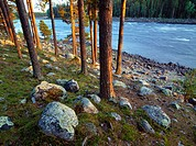 Scots pineforest (Pinus Sylvestris) in the shore of Vindel River. Västerbotten. Sweden
