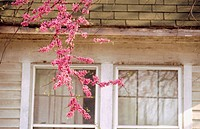 Redbud branch (Cercis siliquastrum) hanging down in front of house, Bloomington, Indiana, USA