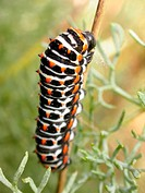 Swallotail caterpillar (Papilio machaon)