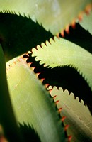 Agave (Agave sp.)